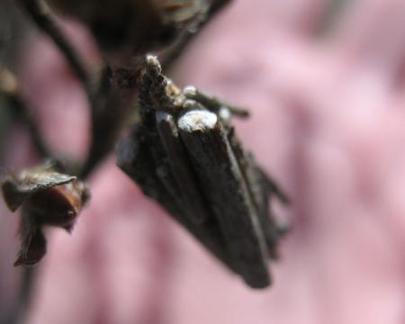 清水山の桜 062