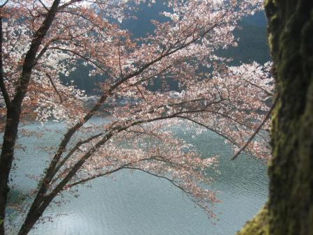 日向神の桜 122 - コピー