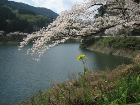 日向神の桜 089 - コピー