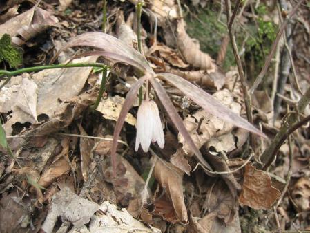 多良岳の花 そよ風さん 065 - コピー