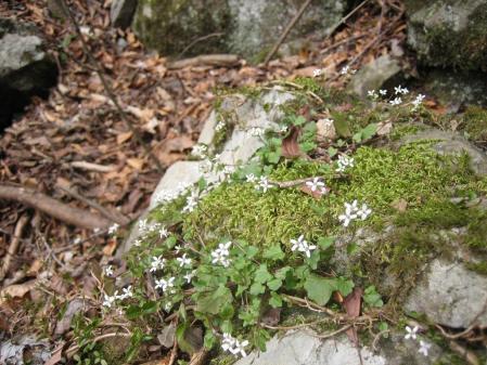多良岳の花 そよ風さん 083 - コピー