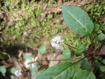 多良岳の花 そよ風さん 097 - コピー