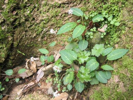 多良岳の花 そよ風さん 096 - コピー