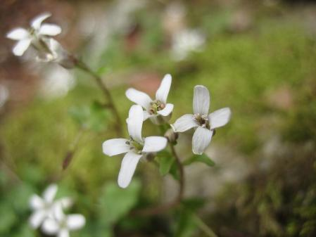 多良岳の花 そよ風さん 084 - コピー