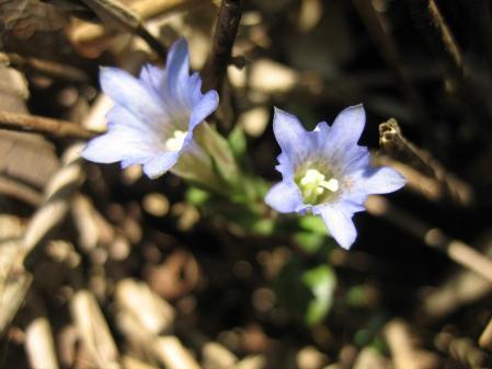 天山の花 088