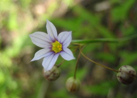 牛尾、小岱山の花 113