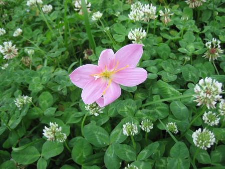 清水の野の花 011