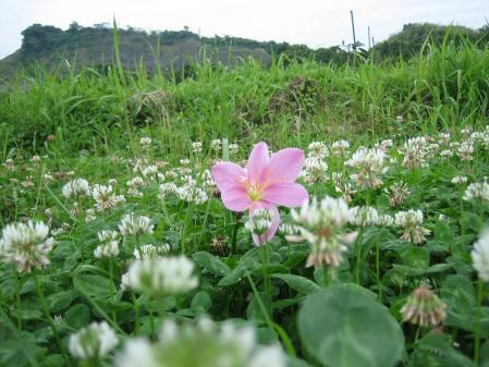 清水の野の花 012