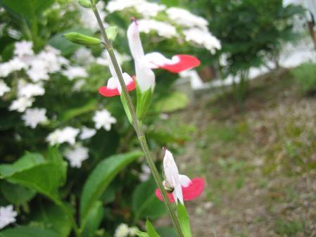 清水の野の花 018