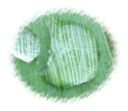 葉の梅の水玉と柳川 052