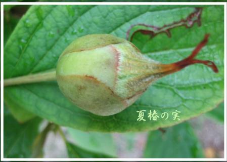 葉の梅の水玉と柳川 097