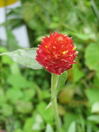 大角の花 015