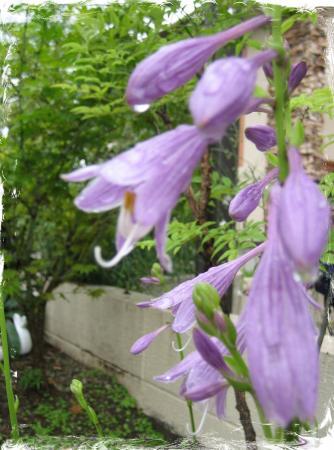 大角の花 005