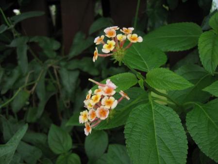 大角の花 058