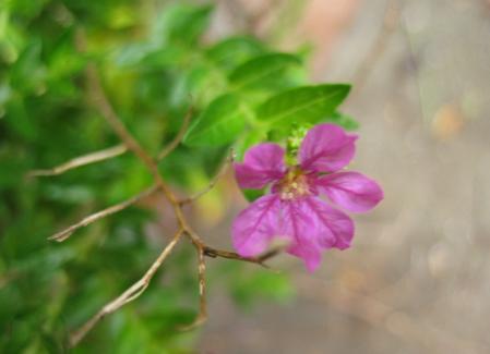 大角の花 102