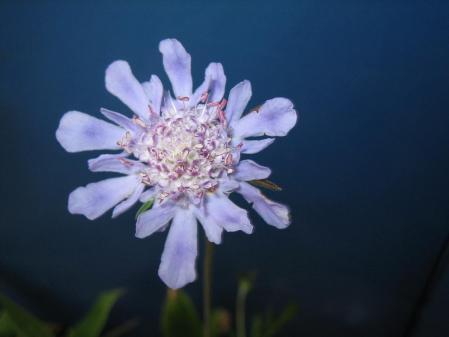 天山の花 3 019 - コピー