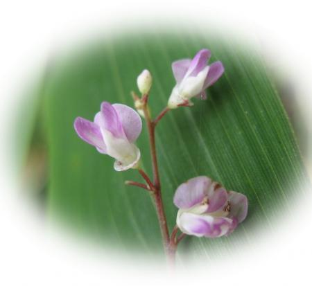 天山の花 144 - コピー