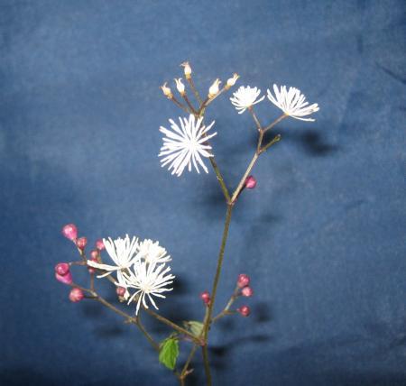 天山の花 2 079 - コピー