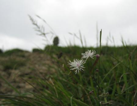 天山の花 2 071 - コピー