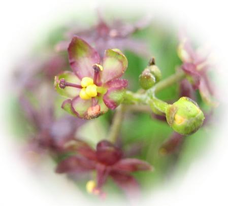 天山の花 113