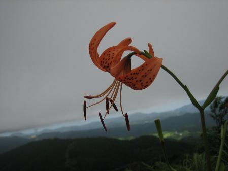 天山の花 2 039