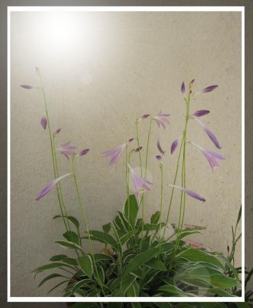 庭の花 天山 006