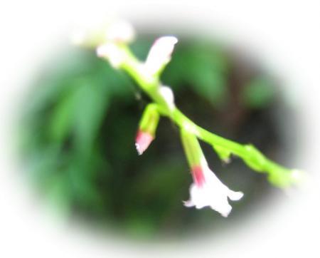 清水の花 044 - コピー