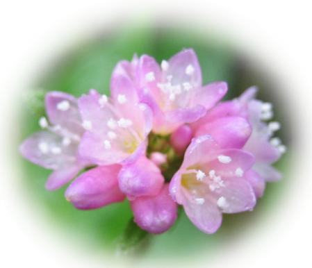 天山の花 017 - コピー