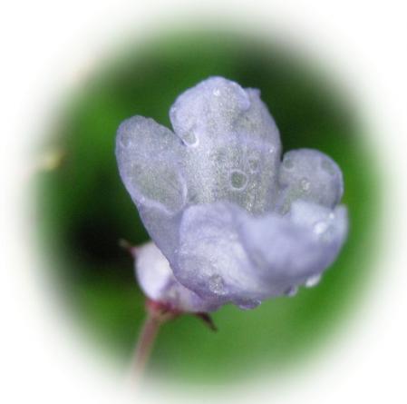 天山の花 009 - コピー