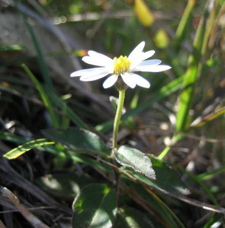 天山の花 A 015 - コピー