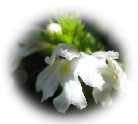 天山の花 A 032 - コピー