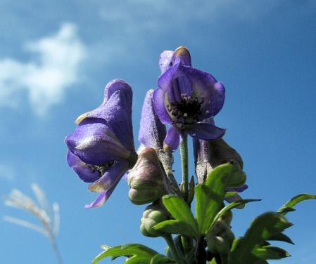 天山の花 A 059