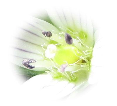 天山の花 A 035 - コピー