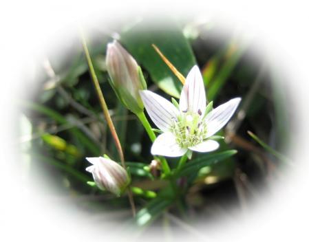 天山の花 A 044 - コピー