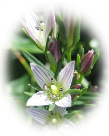 天山の花 A 047 - コピー