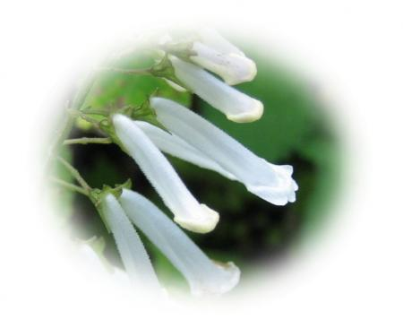天山の花B 034 - コピー (2)