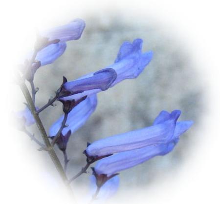 天山の花 A 005 - コピー