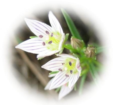 天山の花 c 006 - コピー