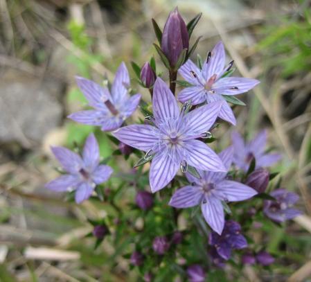 天山の花 c 059 - コピー