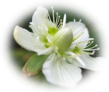 天山の花 c 055 - コピー