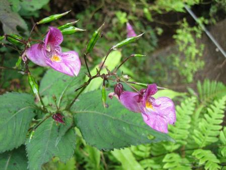 カラ迫山の花 188