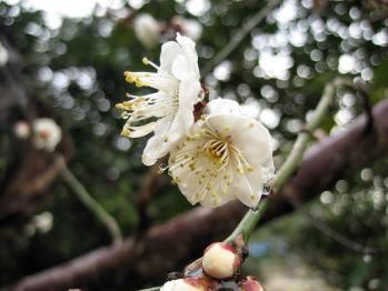 お花の雛 035 - コピー