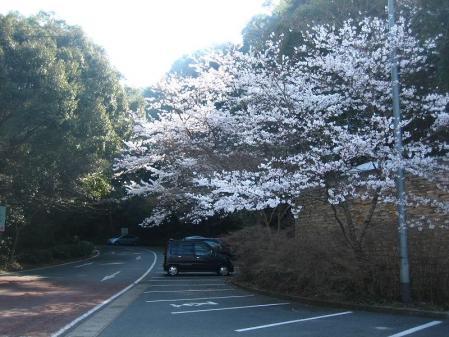 清水の桜 022