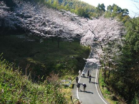 清水の桜 041