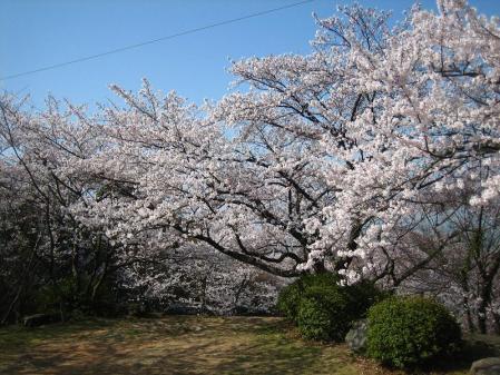 清水の桜 036