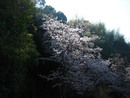 清水の桜 042