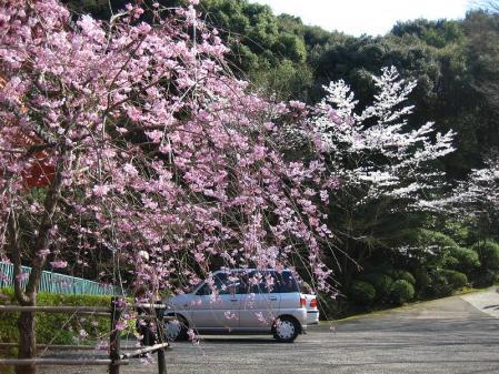 清水の桜 052