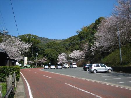 清水の桜 043