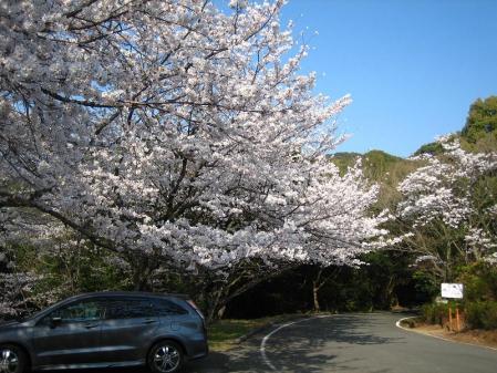清水の桜 107
