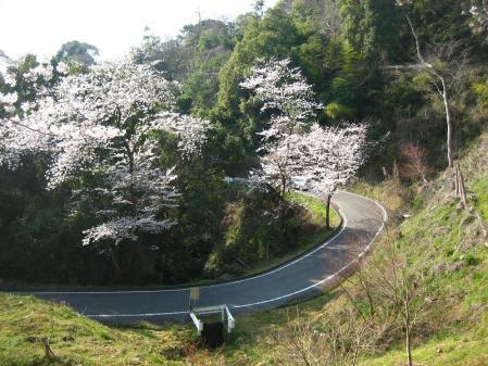 清水の桜 103